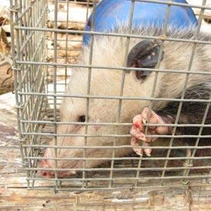 Animal Removal Nashville