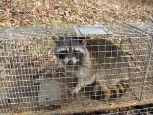 Wildlife Removal Nashville